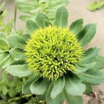 rhodiolaflower